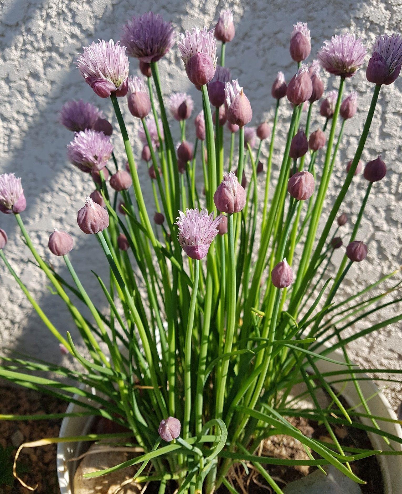 Cultiver des plantes aromatiques en jardinière Cultiver
