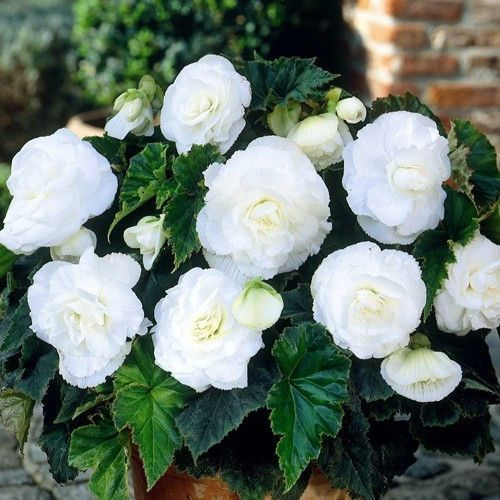 50 Begonia Double White Flower Seeds White Flowers Flower Seeds Beautiful Flowers