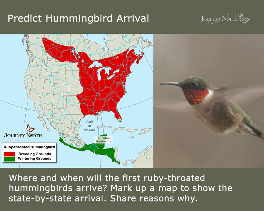 It's almost time! Where, when, and how do Rubythroated