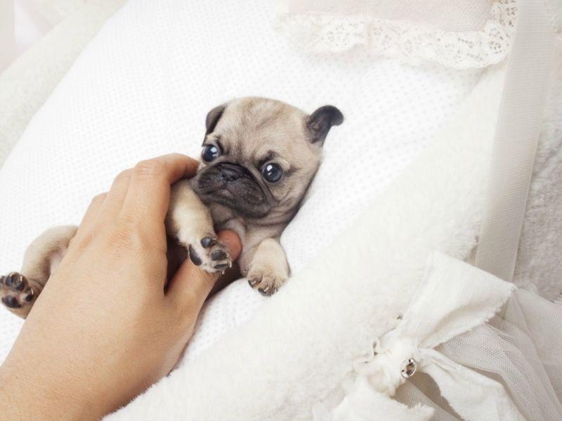Adorable Lil Miss Presley ~ SOLD TO DEBBIE IN UTAH!   Pugs