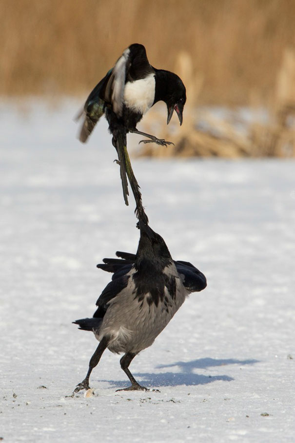 73 Pics That Prove Corvids Are The Biggest Baddasses In The Animal ...