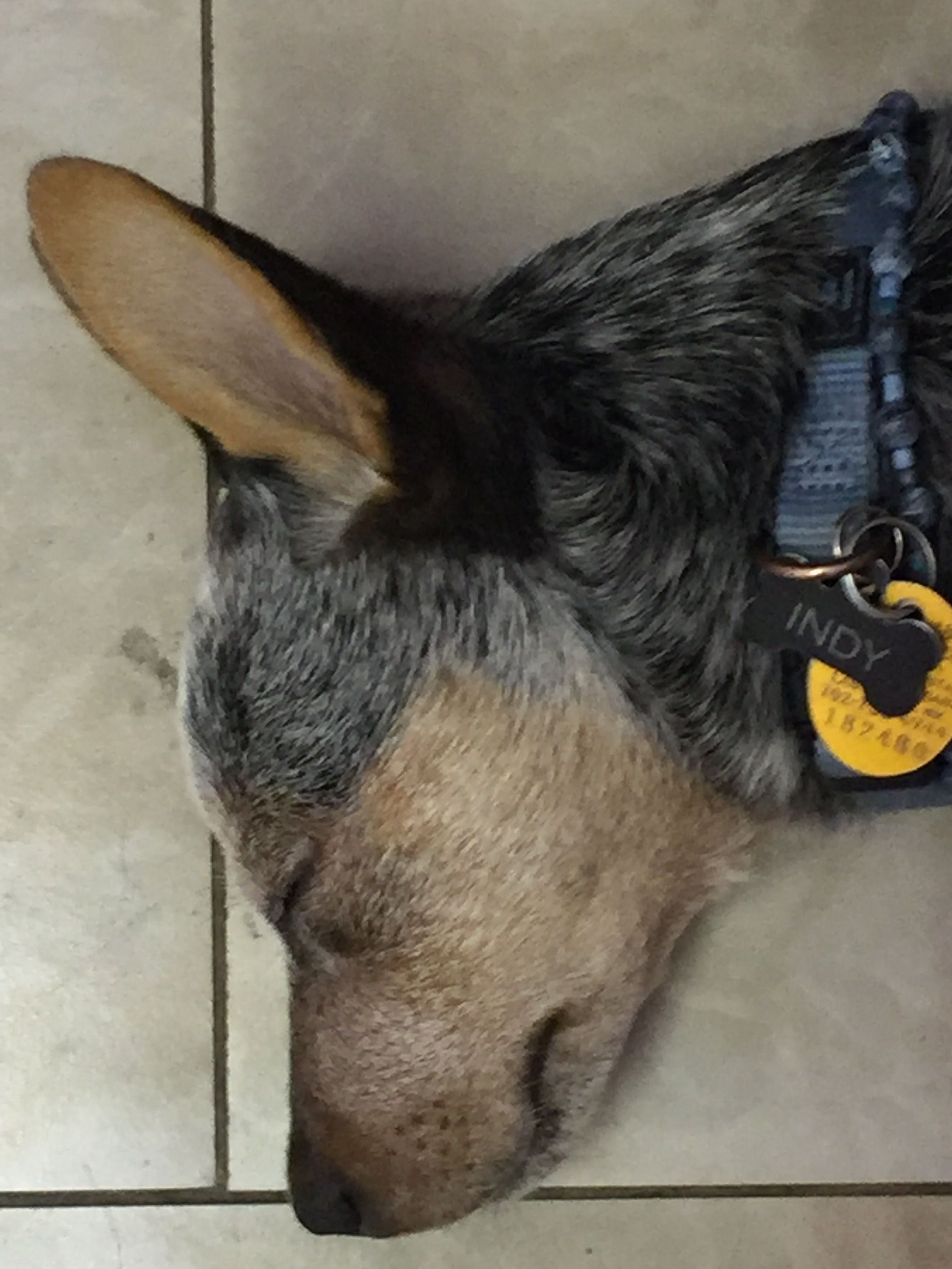 Pin by Kim wilson on Indy and Ziggy | Australian cattle dog
