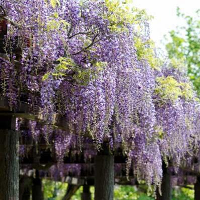 Purple Wisteria Vine For Sale Brighter Blooms Nursery Purple Wisteria Wisteria Plant Wisteria