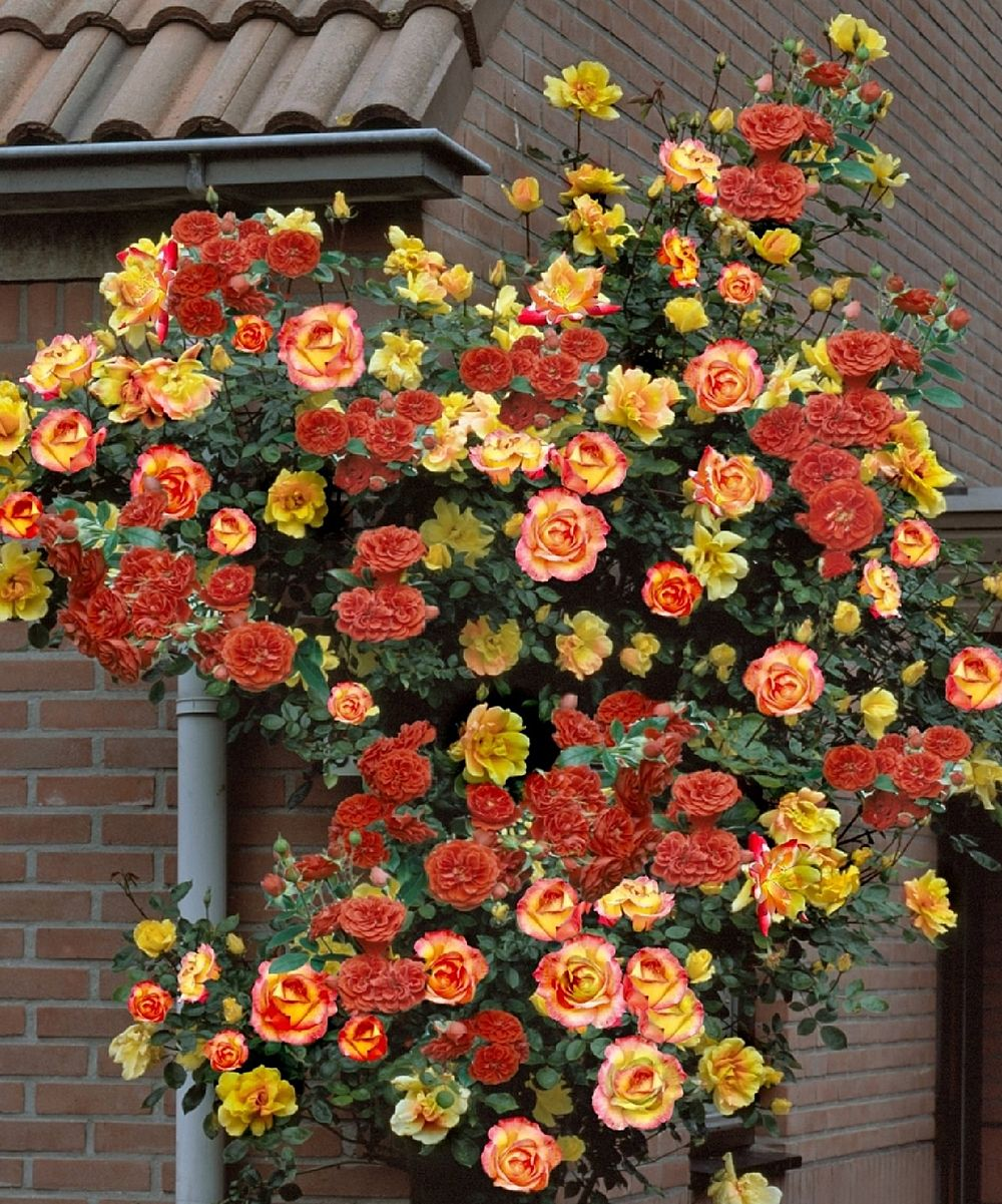Beautiful Gorgeous Modern Garden Concept Idea With Bright: Climbing Piñata Rose
