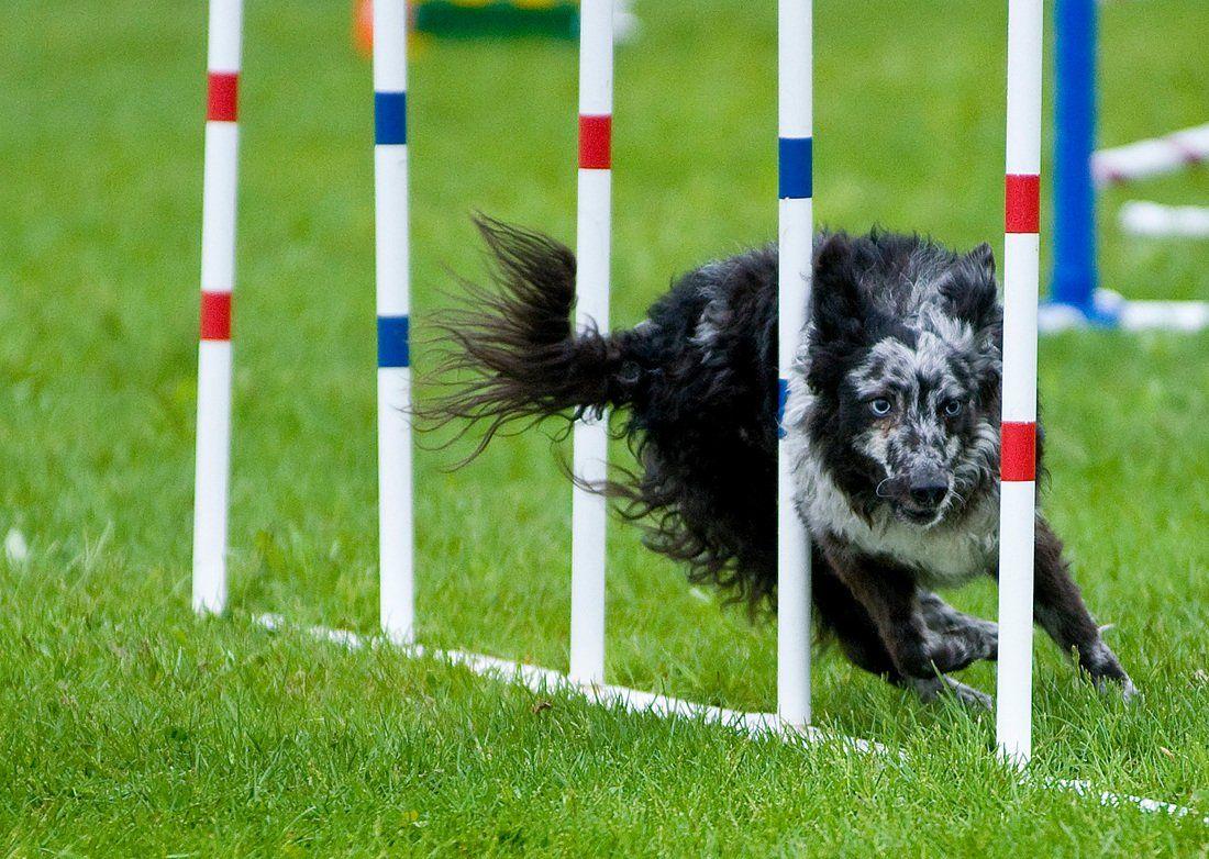 Canine Sports: How to Build a Backyard Agility Course ...
