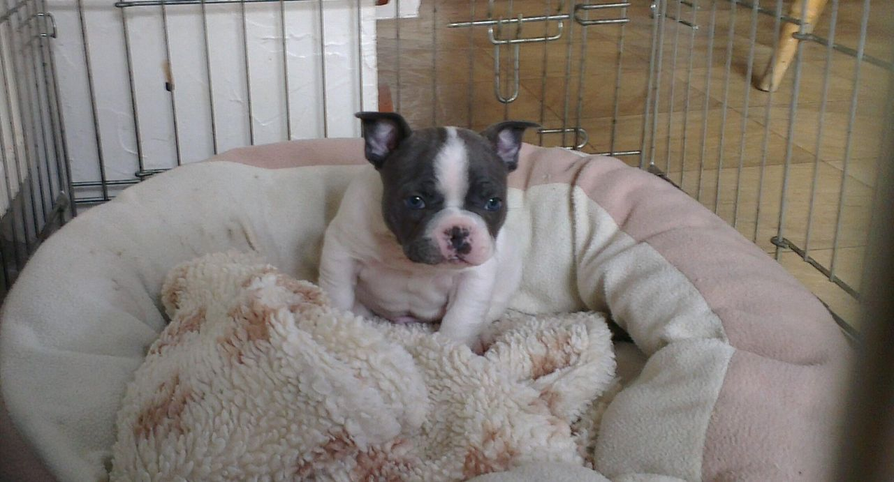 Blue Pied Double Hooded French Bulldog Puppy Keighley West