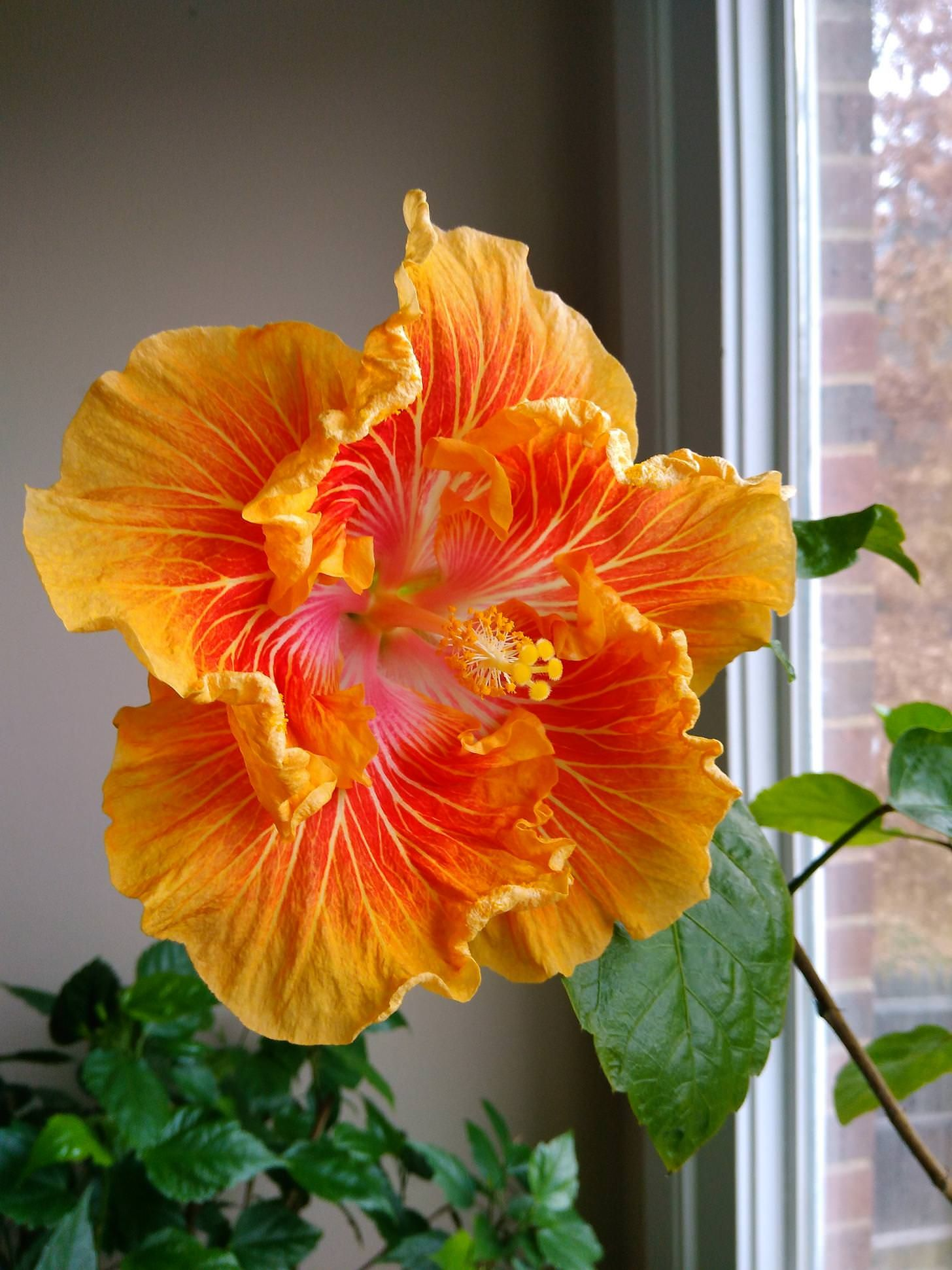 Pin by bobbie on pinterest hibiscus flowers and more information izmirmasajfo