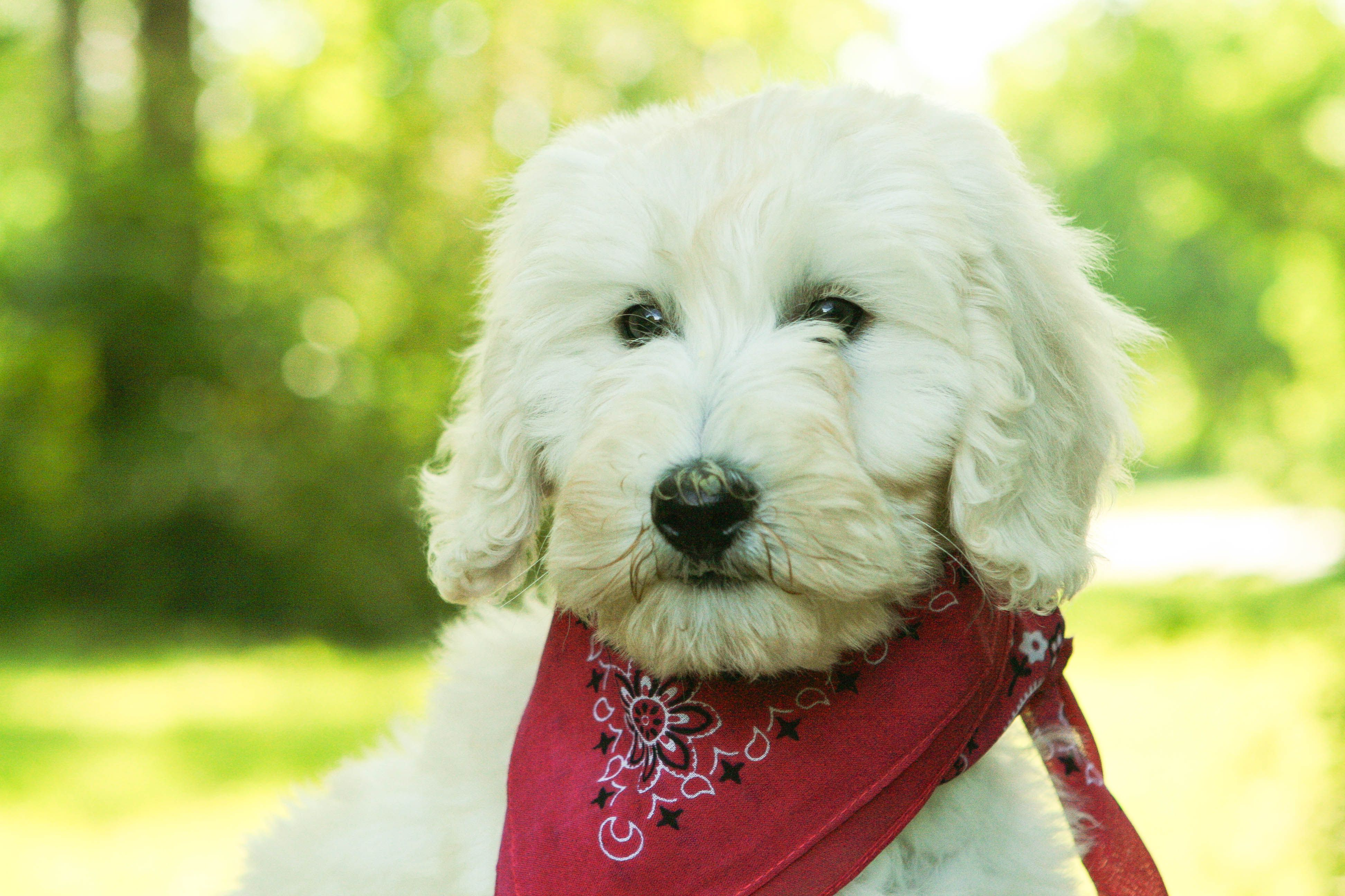 Puppies for sale, Goldendoodle puppy