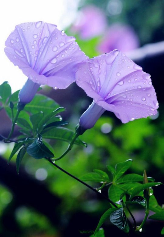 Sweetmomentslove Morning Glory Flowers Types Of Purple Flowers Purple Flowers
