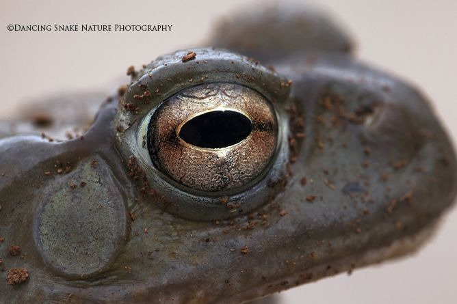 #Amphibians, #Toads - Sonoran Desert Toad - It's supposed to be kind of abstract ( I was feeling artistic). ©Dancing Snake Nature Photography