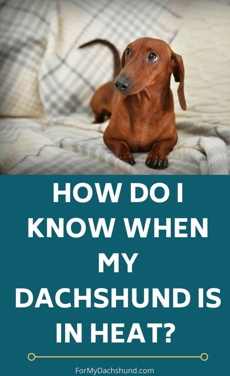 How Do I Know When My Female Dachshund Is In Heat? In 2020