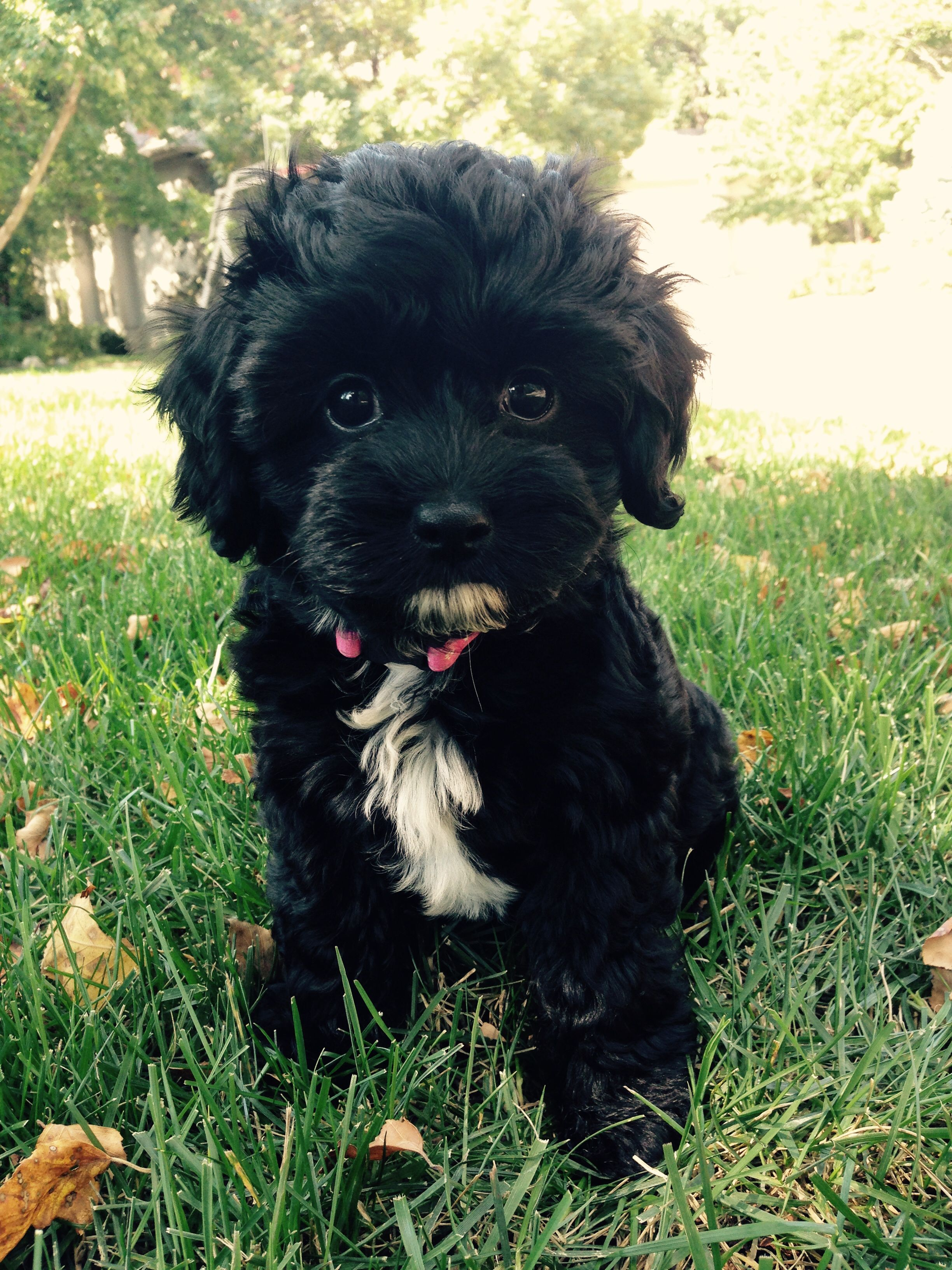 Picture Perfect Puppy For More Cavapoo Puppy Pictures Go To