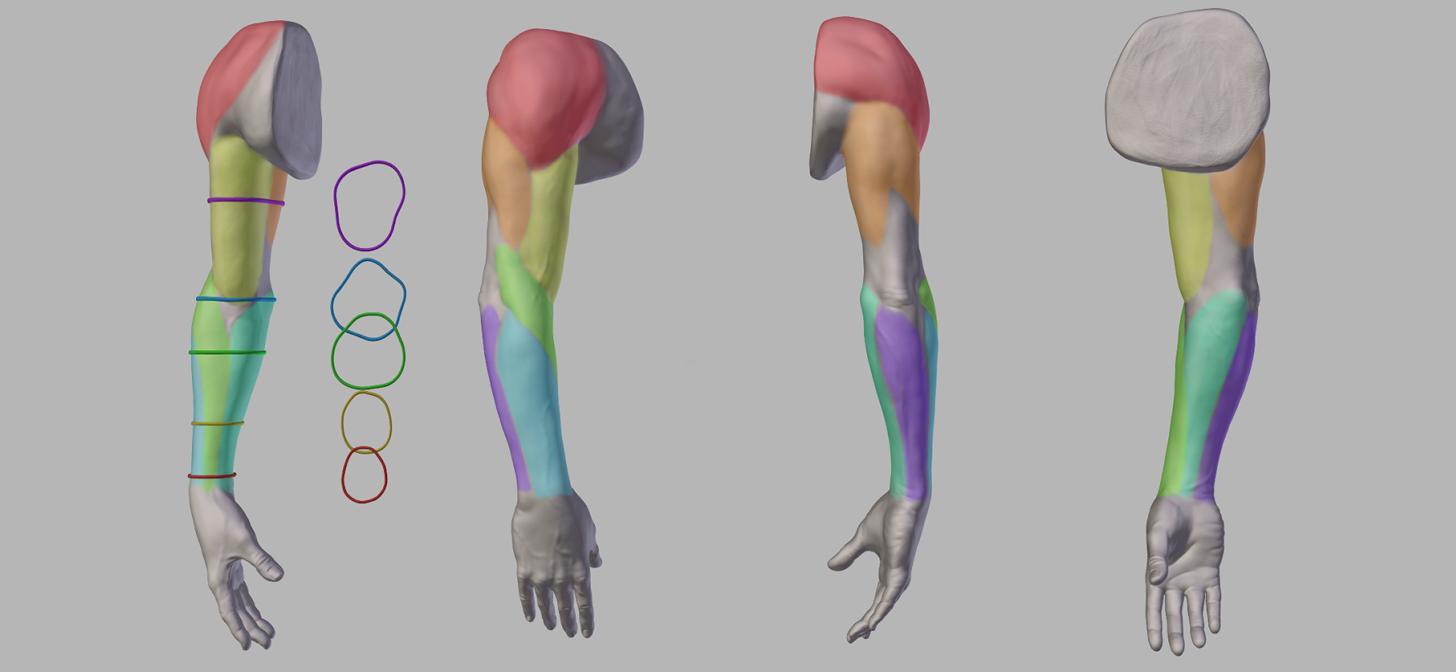 female arm anatomy | Arm Anatomy anatomy of the arm (download ...