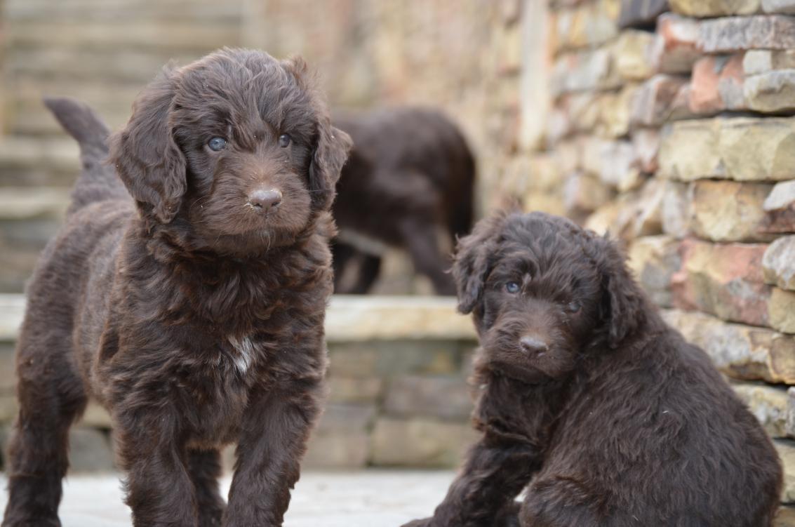 Nonshedding Gentle Giants Newfiedoodles Newfypoos | Dogs