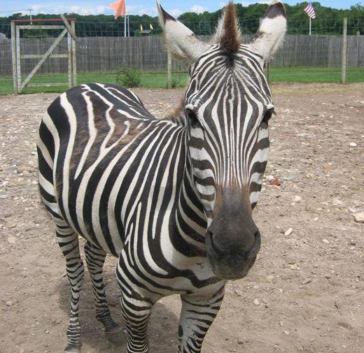 Zebras | Zoo animals, Animal facts, Animals
