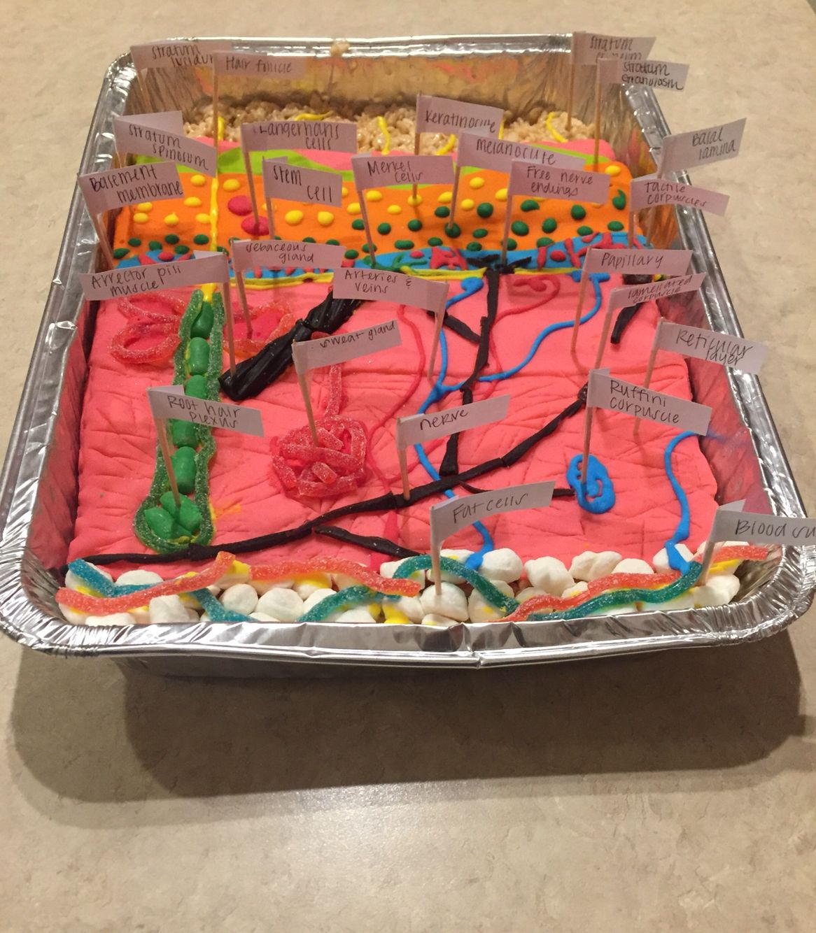 Integumentary System Model Edible Model Of Integumentary