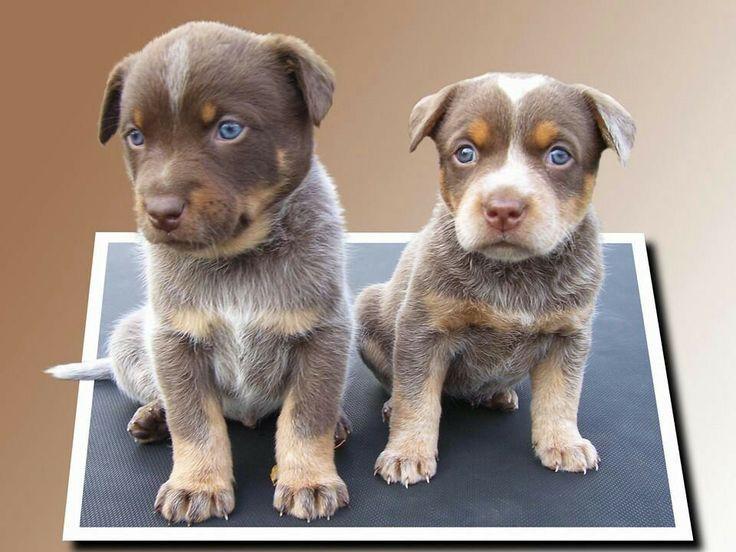 Chocolate Cattle Dog Chocolate Heelers Rare Gene Too Cute