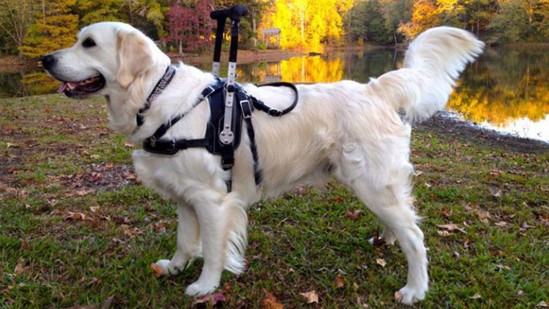 Brace and Mobility Support Dogs Everything You Need To