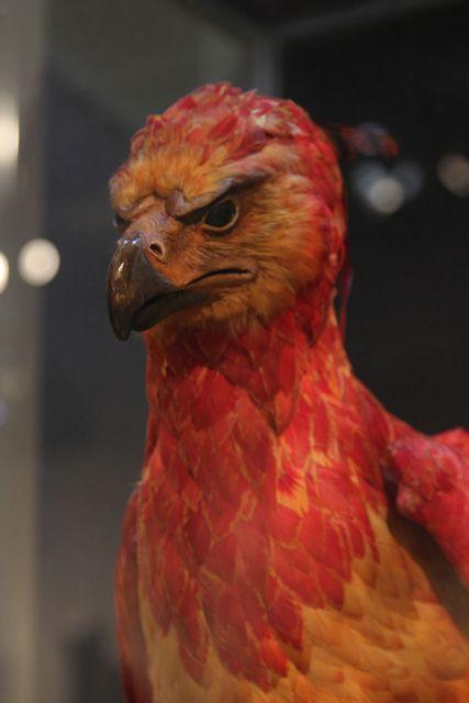 Phoenix bird harry potter the most beautiful bird 2018 phoenix tears you voltagebd Gallery