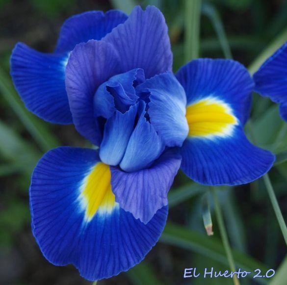 Flor de Iris Color Azul