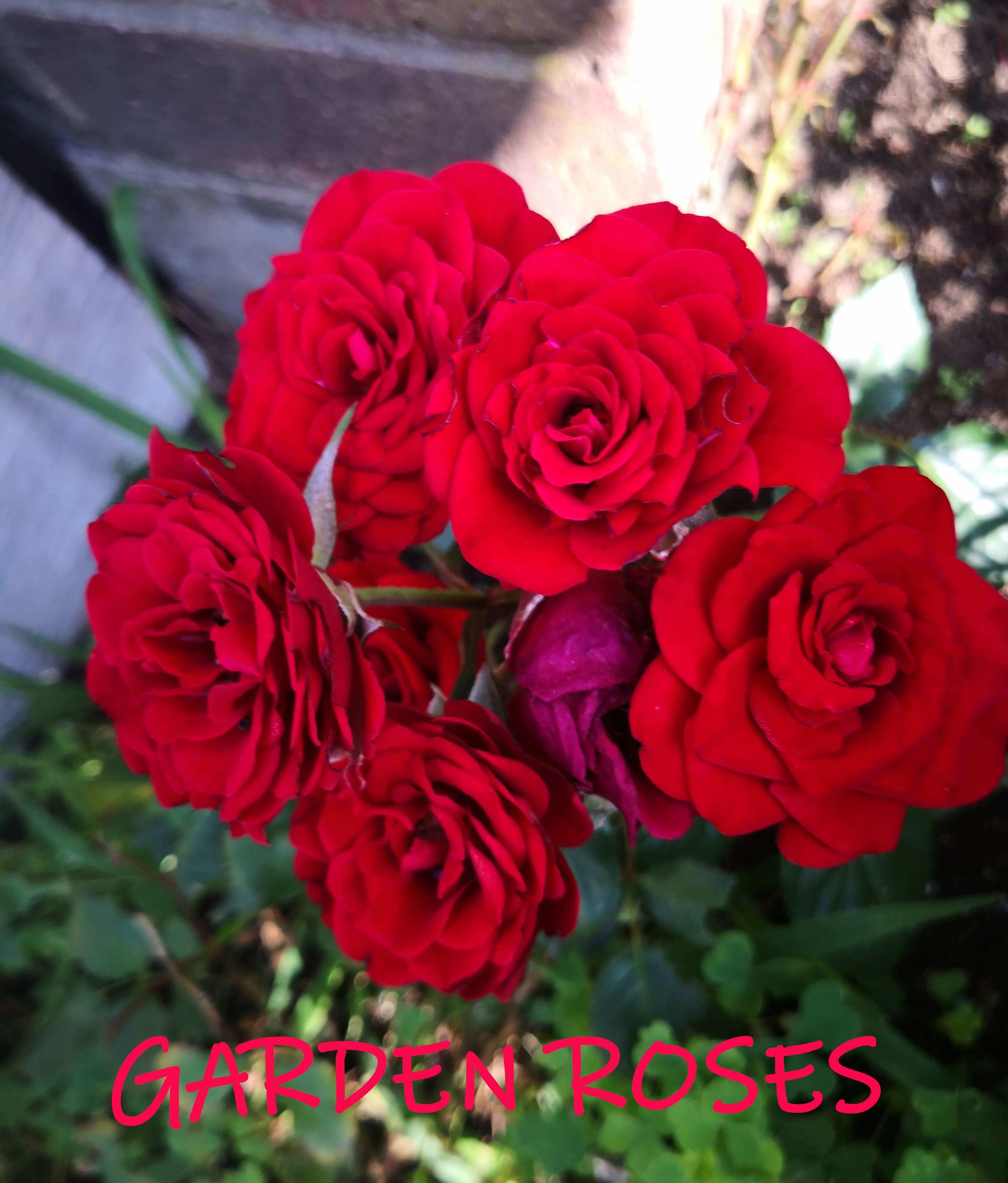 Garden Red Roses #gardenroses #redroses #roses #flower
