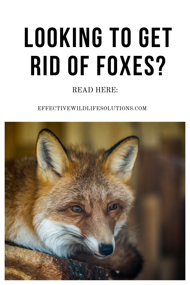 As Fun As It Is To Watch Foxes In Your Yard There Is A Time When You Have To Remove Them If You Are Unsure Of How To Do This This Ar