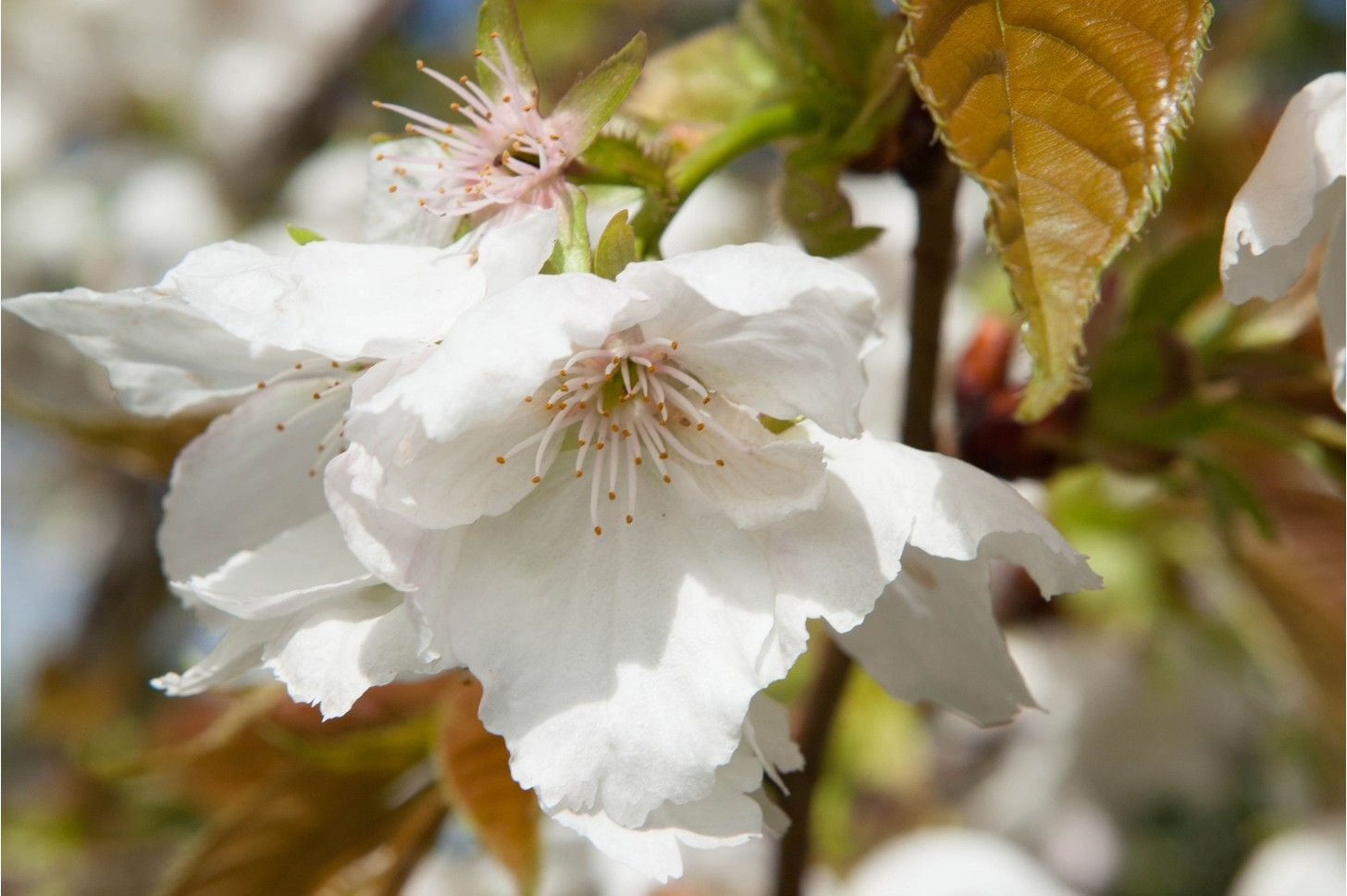 10 Trees With Beautiful Spring Blossom Ornamental Cherry Spring Blossom Blossom