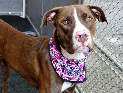 SAFE RTO 8-1-2015 --- Manhattan Center MOOSE – A1043962 MALE, BROWN, AM PIT BULL TER / GERM SHEPHERD, 8 mos STRAY – STRAY WAIT, HOLD FOR ID Reason STRAY Intake condition EXAM REQ Intake Date 07/14/2015