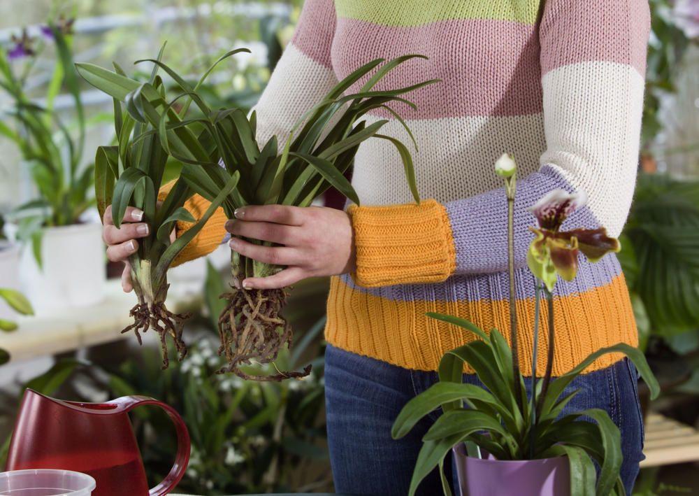 Orchideen durch Ableger vermehren #orchideenpflege