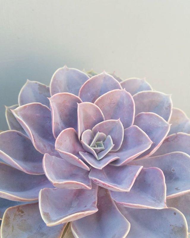 Echeveria perle von nurnberg.  #echeveriapearlvonnurnberg #PVN #echeveria #succulent #succulents #perlevonnurnberg
