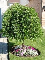 Weeping Mulberry Tree Google Search Trees For Front Yard