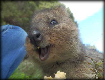 24 Quokkas That Are Dying To Show You How Happy They Are To See You