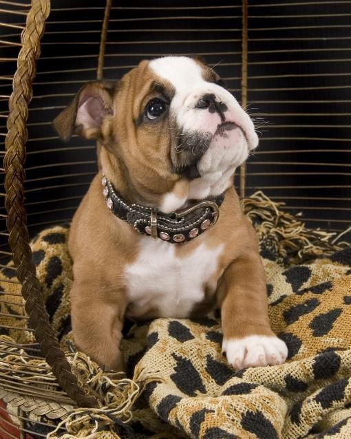 This Bulldog Puppy Has So Much Love That It Left A On Her Chest
