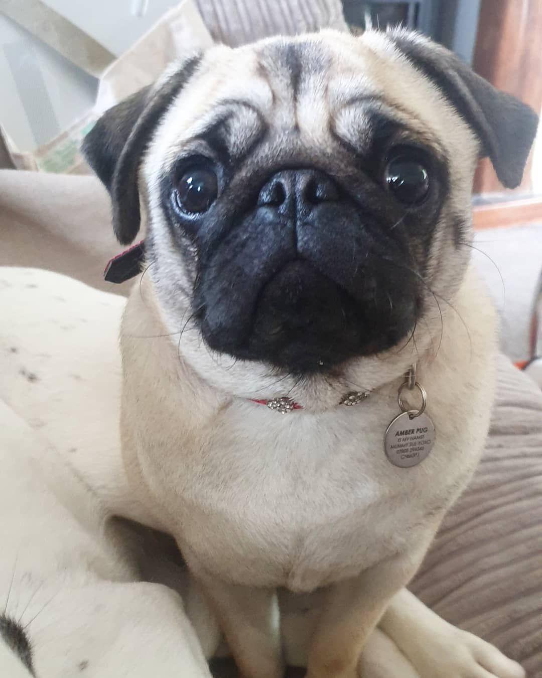 Hallo Fiends Follow Me Amber Pug Squishyfacecrew Dogs