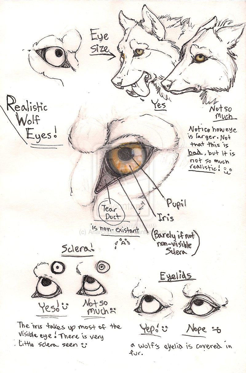 Wolf eye anatomy page by Anarchpeace.deviantart.com ✤ || CHARACTER ...