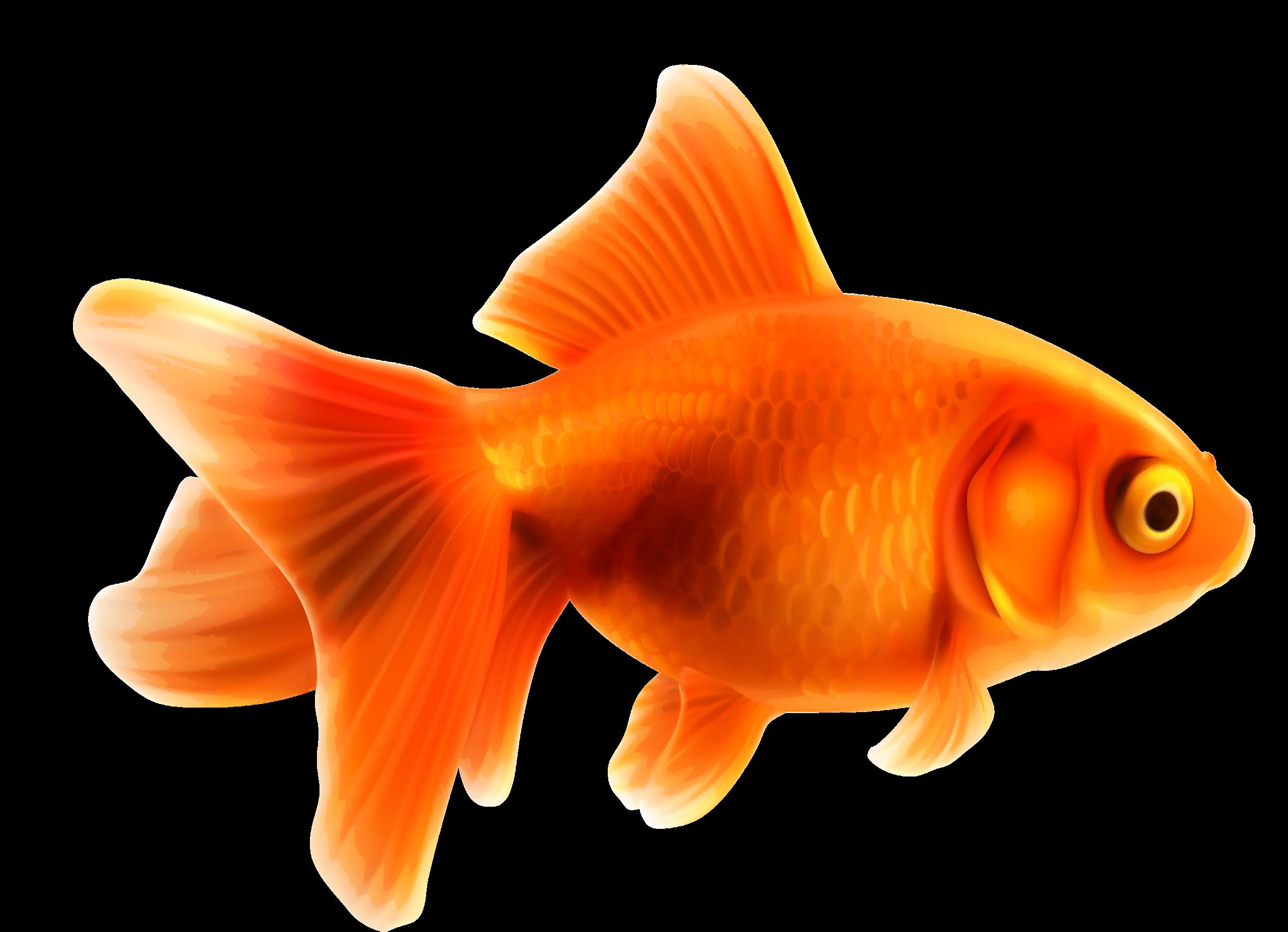 Goldfish Google Search Goldfish Fish Fish Art