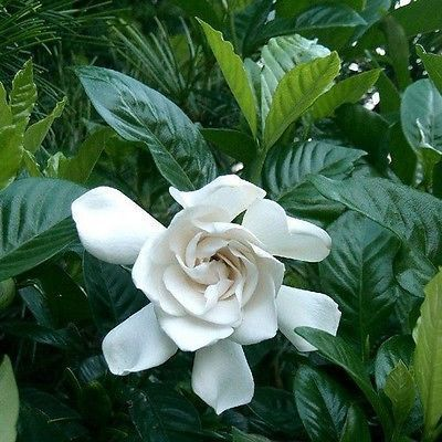 50 Gardenia Cape Jasmine Bush Seeds Under The Sun Seeds Gardenia Plant August Beauty Gardenia Popular Flowers