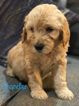 Litter of 6 Goldendoodle puppies for sale in IDAHO FALLS, ID