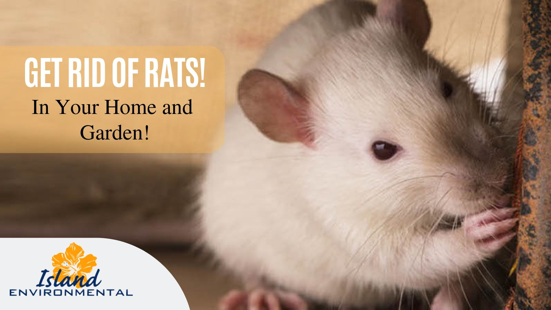 Need To Get Rid Of Rats In Your Home And Garden Then Walk Into Island Environmental Pest Control Rat Infestat Getting Rid Of Rats Pest Control Rodent Control