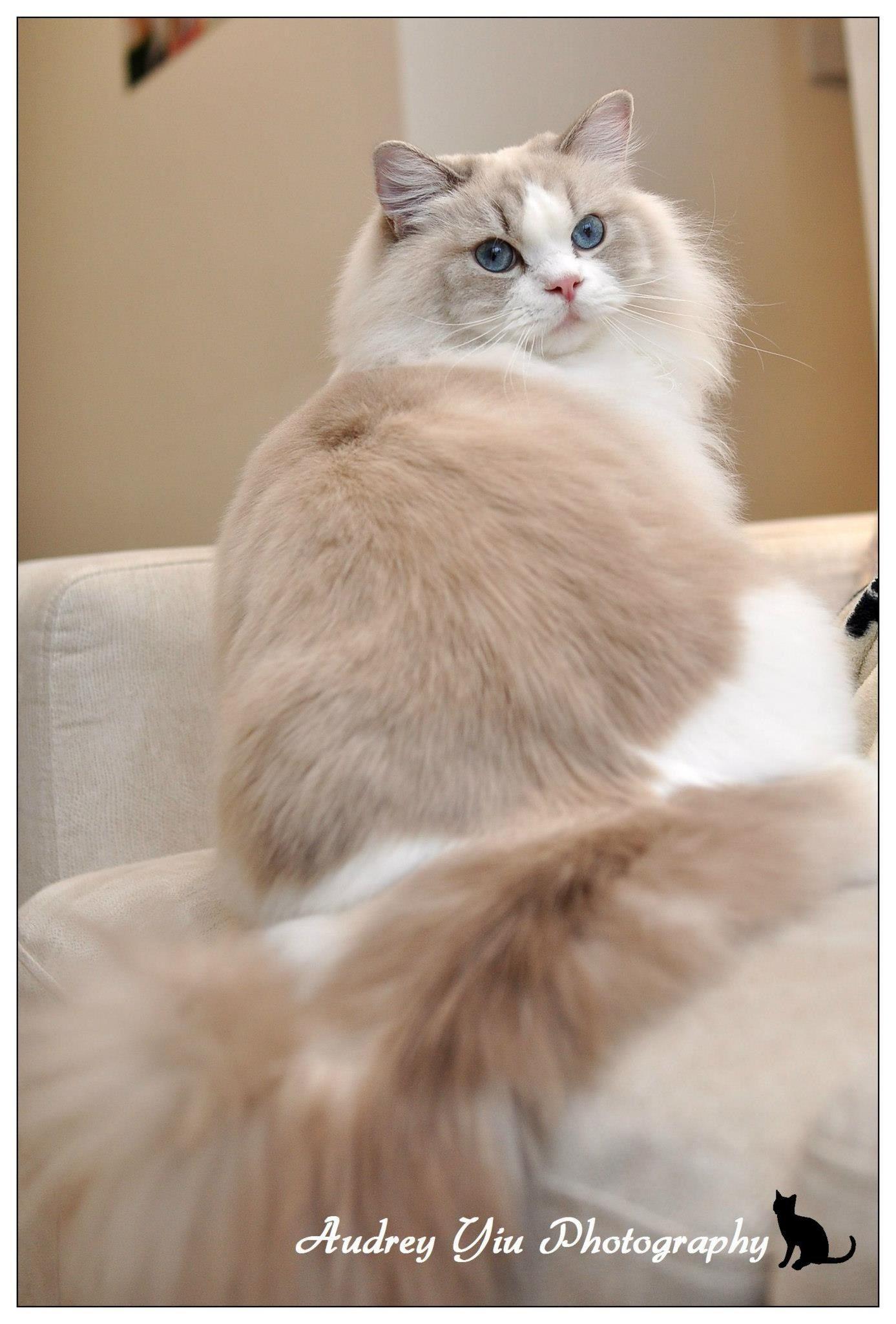 Blue Lynx Bicolor Cute cats, cats, Pretty cats
