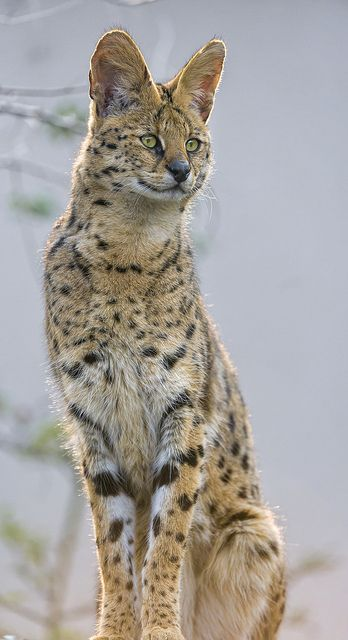Standing Serval Serval Cats Animals Beautiful African Wild Cat