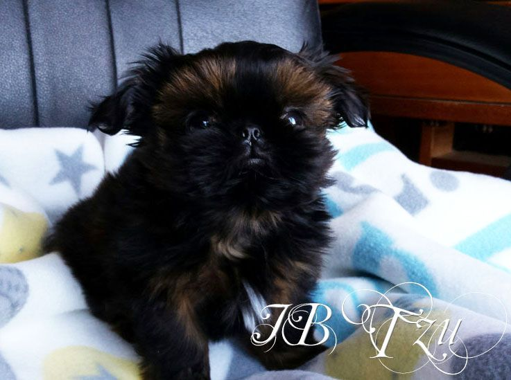 Iron Butterfly Chinese Imperial Shih Tzu Tiny Teacup Puppies For Sale Quality Small Breeder Cuteteacu Teacup Puppies Imperial Shih Tzu Teacup Puppies For Sale