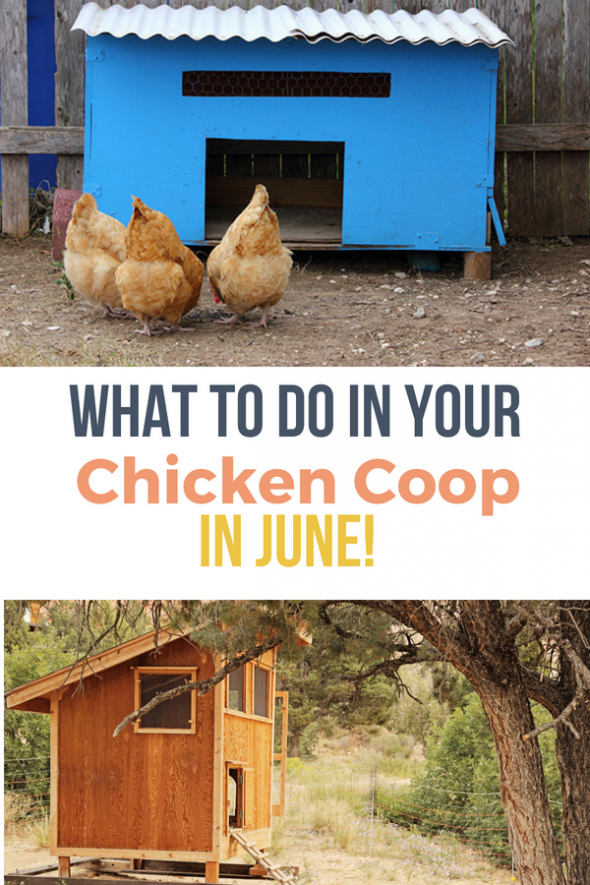 Use this chicken care guide for tips on what to do for ...