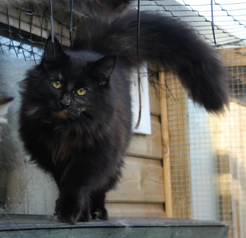 Norwegian Forest Cats (With images) Fluffy black cat