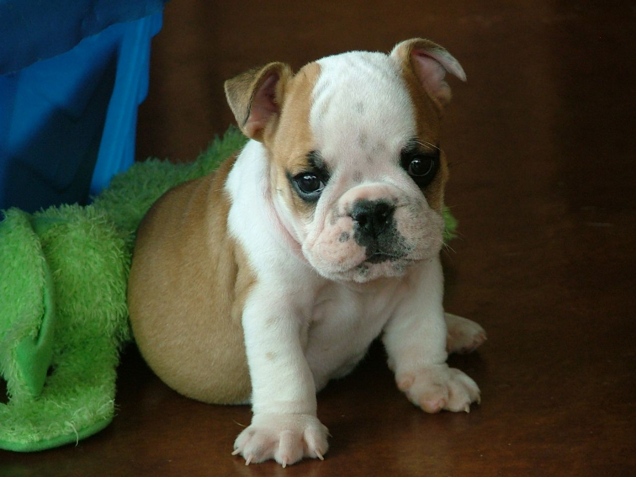 My Heart Has Melted English Bulldog Puppies English Bulldog English Bulldog Puppy