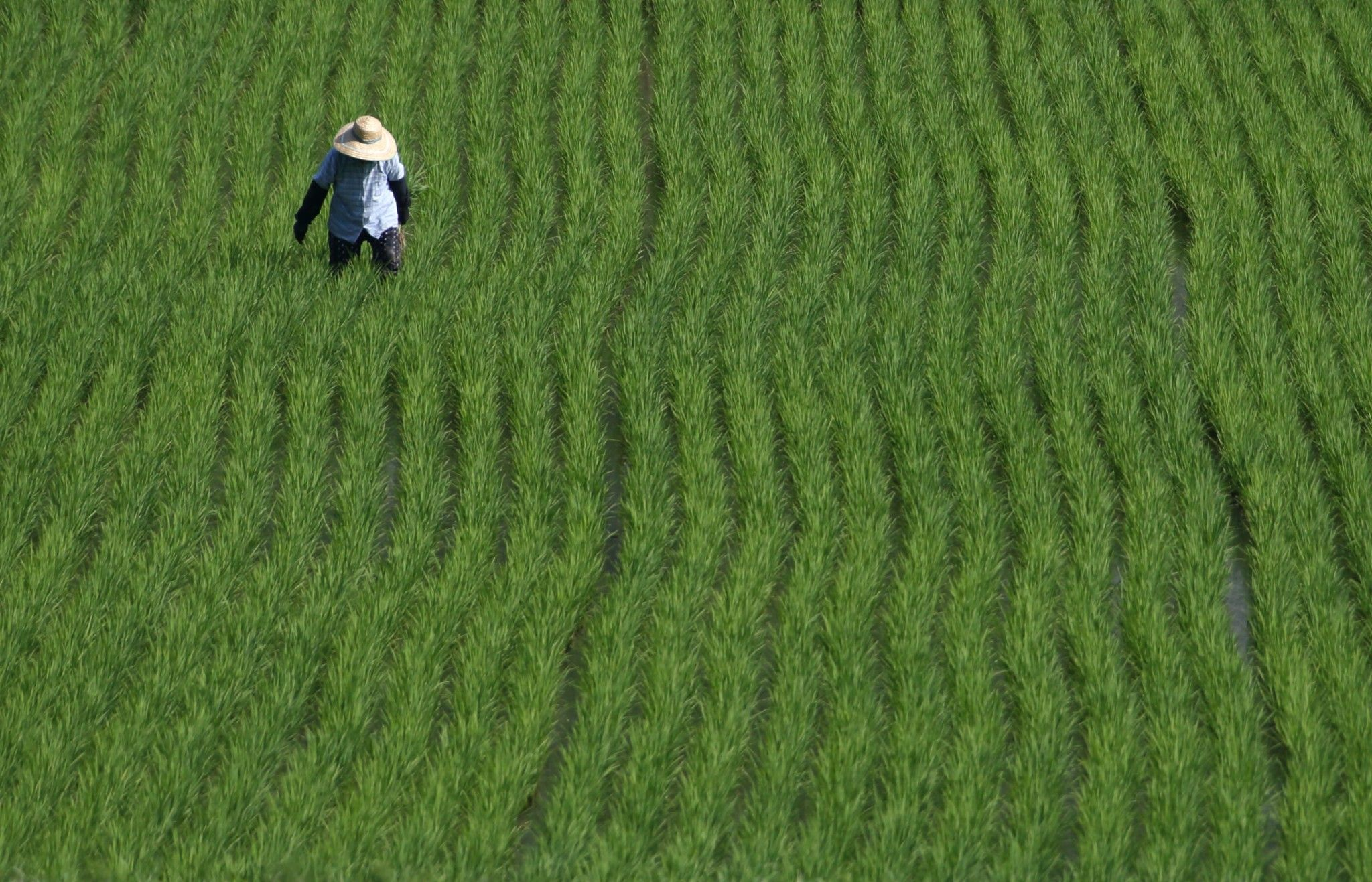 Japan S Farmers Face A Crisis Reform Or Die Out Literally Ap