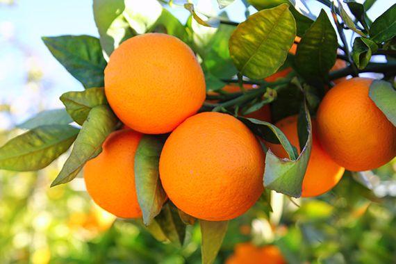 Naranjas De Montemorelos Nuevo L 233 On Zero Calorie Foods