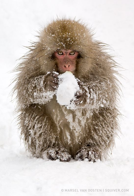 Wanna Play This Cheeky Little Snow Monkey Made A Snow Ball And Looked At Me As If It Wanted To Start A Snow Figh Snow Animals Monkey Photography Snow Monkey