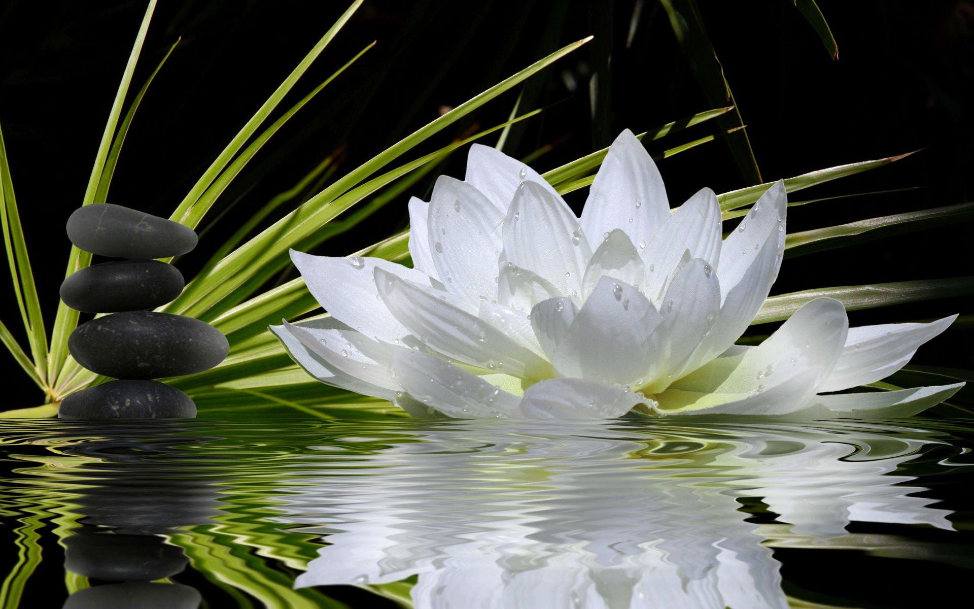 Black Lotus Flower Wallpapers High Resolution Cruzes
