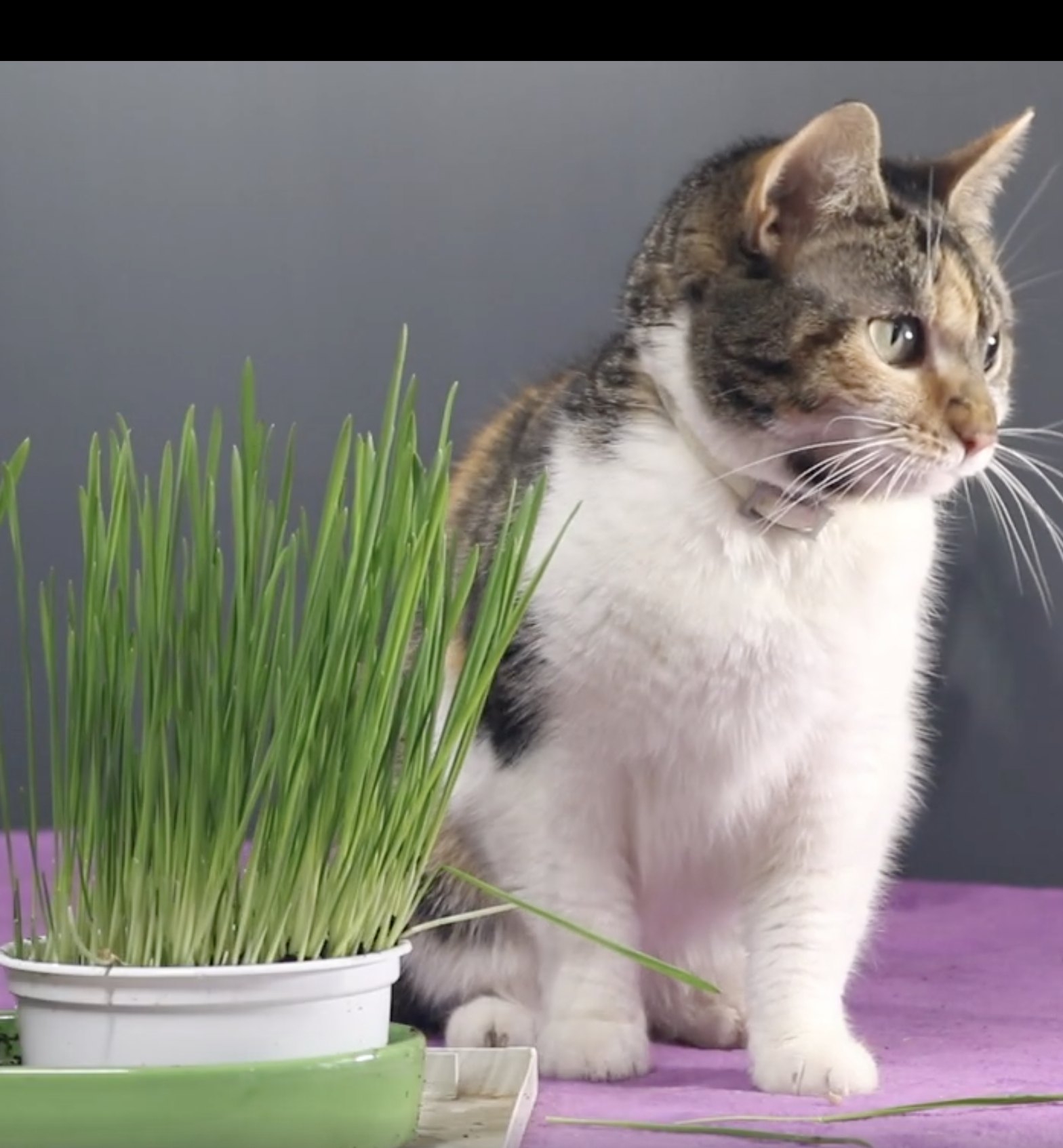 Cat Grass Smartykat Sweet Greens Cat Grass Kit In 2020 Cute Cats And Kittens Cute Little Animals Cute Funny Animals